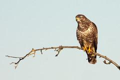 Buteo buizerd buzzard  (view large) (kPepels) Tags: buteo buizerd buzzard 50d canon kenko