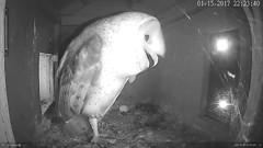 1.15.2017_2223_Jasper Calls For Didi (Birder23) Tags: 1152016 jasper didi barn owls call femalebarn owl nest cam