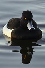 Kuifeend (Triplewhip) Tags: kuifeend tufted duck bird aythya fuligula leuven kessello provinciedomein