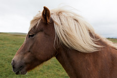 Pretty Horse _6920 (hkoons) Tags: icelandichorse openair clouds country horses iceland animals cloud countryside equestrian farm farms field fodder foothill grains grass grassland graze grazing green greens hill horse island landscape mammal mammals mountainside nature north outdoor outdoors pastoral pasture pets ponies pony ranch riding sky sun sunlight weather