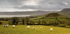 Great and small (Perkvats Havatkov) Tags: eosm cushendall countyantrim sheep hills