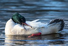 Male Goosander Preening (queeny63) Tags: elements