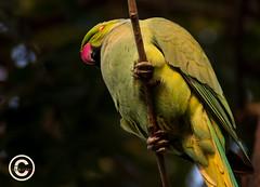 Bird (37) (mshubhajyoti) Tags: shubhajyotimohapatra birdsiitk bird parakeet ngc fantasticwildlife