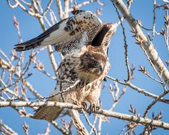 Red-tailed Hawk (Becky Matsubara) Tags: bird birds hawk mercednationalwildliferefuge raptor redtailedhawk birdofprey buteo buteojamaicensis explore