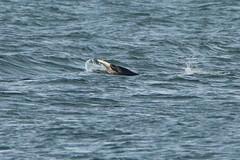 IMG_5962 (monika.carrie) Tags: monikacarrie wildlife scotland aberdeen dolphin cetacean mammal