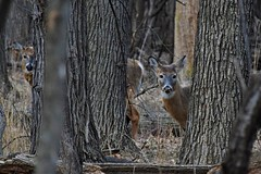 Seeing double (marensr) Tags: deer mammal animal tree nature north park village center doe does chicago