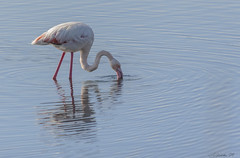 FENICOTTERO   ---   FLAMINGO (cune1) Tags: animali nimals uccelli birds natura nature acqua water italia italy lazio salineditarquinia