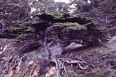 Hesperocyparis macrocarpa (Monterey Cypress) (birdgal5) Tags: 35mmslide 55mmf35microcp nikkormatel nikon january1979 california montereycounty pointlobossr pointlobosstatereserve californiaendemic nativetree cupressaceae cupressus cupressusmacrocarpa montereycypress hesperocyparis hesperocyparismacrocarpa