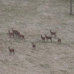 Red deer on Exmoor (Karen Warren1) Tags: reddeer deer herd exmoor walk1000miles2017