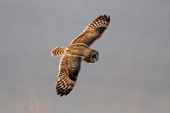 Short Eared Owl (Simon Stobart - Back But Way Behind) Tags: short eared owl asio flammeus flying banking northeastengland