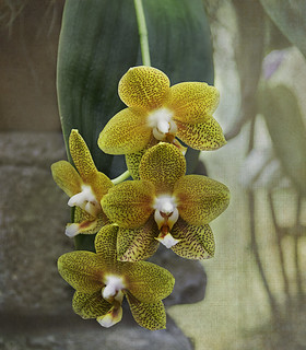 Orchidée Phalaneopsis