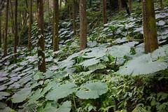 姑婆芋 (momodie81) Tags: 馬武督 探索 森林 姑婆芋 植物 台灣 新竹 關西