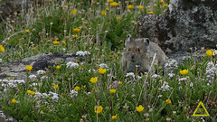 American Pika Summer Flowers (jerefolgert) Tags: pika american ochotona princeps molt flower yellow purple white green fur cozy eating plateau mountains rocky talus prey predator consumption pollinator teeth lovely redlodge bozeman bigtimber missoula montana wyoming