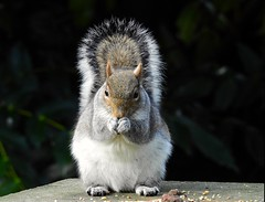 Grey squirrel (PhotoLoonie) Tags: squirrel greysquirrel animal wildlife wildanimal nature closeup
