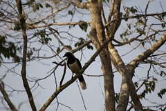 DSC_0027 (anamorales14) Tags: jay corvid corvido carriqui baru colombia pechiblanco bird birding ave nature photography