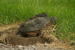 snapping turtle laying eggs   0232 (Eric Wengert Photography) Tags: nest snapping turtle eggs serpentina chelydra