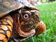 Box Turtle Closeup