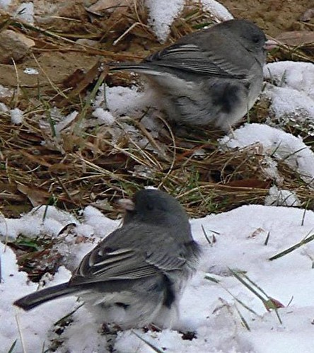 juncos in snow