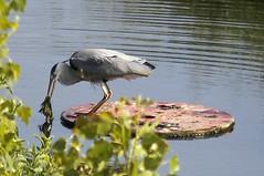 Crunchy frog again (Edwinek) Tags: urban food bird heron birds wildlife frog frogs urbanwildlife hunter supper amphibians