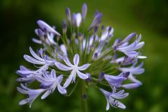 bulb flower (©DocTony Photography) Tags: travel flowers plants usa flower nature 350d la losangeles flora vegetation bloom blooms 1755 doctony
