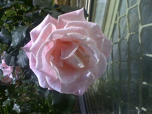 Mary McKillop Rose