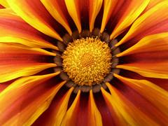 J' veux du soleil ! (Magali Deval) Tags: flower macro fleur yellow jaune interestingness heart coeur colourful color interestingness378 i500 explore20jun2006 twtmesh220755