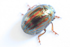 Lavender's blue... (Desmo Dave) Tags: blue red macro green stripes beetle lavender jewelscarab