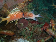 Squirrelfish (Papipo) Tags: red fish underwater dive scuba diving bequia poissons rouges