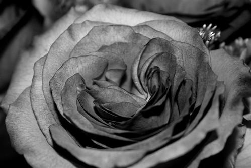 bw rose1
