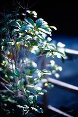 shining (moaan) Tags: life leica sunlight plant 50mm dof bokeh 2006 f10 dailylife m7 kodakektachrome64 inlife noctillux gettyimagesjapanq1 gettyimagesjapanq2