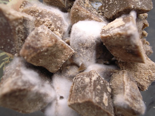 Raw sugar covered with mold