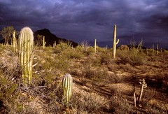 Saguaros at Sunset: Tucson, Arizona (AZ) (Floyd Muad'Dib) Tags: sunset arizona cactus plants usa cloud plant southwest clouds america cacti geotagged evening ray unitedstates desert tucson united north az southern vegetation northamerica gilbert states saguaro campground dramaticsky americanwest sonorandesert saguaros tucsonaz tucsonarizona campgrounds arizonadesert arizonacactus southernarizona westernusa dramaticskies pimacounty gilbertray azcactus arizonadesertatsunset