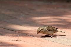 IMG_2185 (mjmyap) Tags: birds passerdomesticus washingtonuniversity houserobin