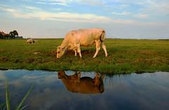 Waterland, Amsterdam, NL (Peter Bongers) Tags: amsterdam wow nikon cows d70 waterland koe koeien amsterdamnoord nikonstunninggallery peterbongers peterbongers