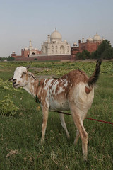 Goat Behind Taj, India (Captain Suresh Sharma) Tags: portrait india green monument grass animal stone architecture river landscape tomb towers platform taj agra mosque dome marble grazing yamuna minars