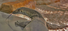 waran (bea2108) Tags: animal animals zoo lizard waran