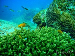 Underwater at Koh Tao Island, Thailand (_takau99) Tags: ocean trip travel sea vacation holiday fish uw nature water topv111 coral topv2222 thailand island topv555 topv333 nikon marine asia southeastasia underwater topv1111 topv999 topv444 dive july scuba diving 321 2006 topv222 explore thai samui tropical coolpix scubadiving topv777 s1 topv3333 topv4444 tao topv666 topf10 kohtao nangyuan topv888 gulfofthailand liveaboard scoreme explore500  takau99 nangyuanpinncale