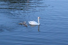 Swans (mkdphotos) Tags: blue lake bird nature water swan fb wildlife babyanimal 200606