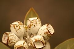 ユーカリ・テトラゴナ(Eucalyptus tetragona)