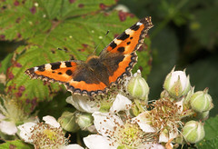 "Small Tortoiseshell (aglais urticae)((4) • <a style=""font-size:0.8em;"" href=""http://www.flickr.com/photos/57024565@N00/188004432/"" target=""_blank"">View on Flickr</a>"