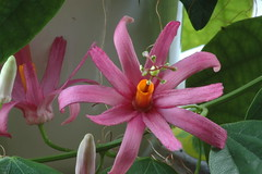 passionflower (groenling) Tags: flower passiflora passionflower tulae