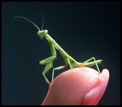 Dear Earthlings (Domain Barnyard) Tags: macro wow bug mantis insect alien 2006 canoneos20d prayingmantis tingey domainbarnyard 1on1macros