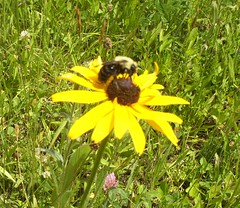 bb susan (beelissa) Tags: flowers bee bumble blackeyedsusan