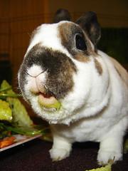 Where's my eats? (craftybeaver) Tags: pet cute rabbit bunny animal fur salad furry funny eating critter lips greens messy eats interestingness225 i500 veggiemonster