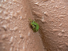 froggie1 (highglosshighs) Tags: brown green japan apartment july 2006 frog urbannature  toyama ribbit croak fukumitsu froggie    awhhh