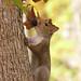 Eastern Grey Squirrel on a tree (Sciurus carolinensis)