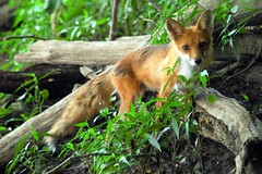Close Encounter of the Red Fox Kind - Great Falls Maryland [1] 2 (Nikographer [Jon]) Tags: red summer usa nature topf25 topv111 wow lenstagged nationalpark topv555 topv333 nikon unitedstates greatfalls maryland fox topv777 d200 nikkor redfox vulpesvulpes closeencounter 80400mmf4556dvr greatfallsnationalpark wildlifenorthamerica nikond200 vulpes nikographer specanimal 07152006 preservetnc06 gfnp nikographerjon 20060715d20020532 jss20081