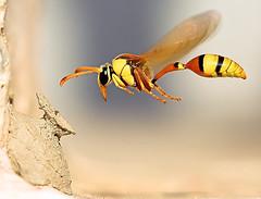 A Potter Wasp (© Poras Chaudhary) Tags: india macro wow amazing bravo wasp quality personalfavorite ih kurukshetra wespe themoulinrouge helluva potterwasp littlestories magicdonkey specnature specanimal good2 good3 good4 good5 good6 good7 good1 good8 good9 good10 winnerflickrsweekly50contest animalkingdomelite yellowpotterwasp amazingmacro abigfave kaipu perfectangle colorphotoaward aplusphoto specinsect megashot overtheexcellence macrolife theverybestofflickr mailciler picswithsoul mastersoflifegallery alemdagqualityonlyclub themostofthemost theflickrcollection
