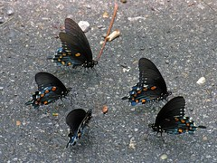 Butterflies in the Park - Puddling female Pipevine Swallowtails - by Old Shoe Woman