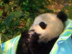 Tai Shan munchin' on some ice (desbah) Tags: zoo panda taishan